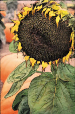 Santa Barbara Sunflower - Catherine Lee Neifing